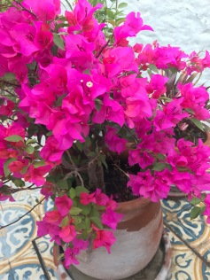 Bouganvilla in bloom.